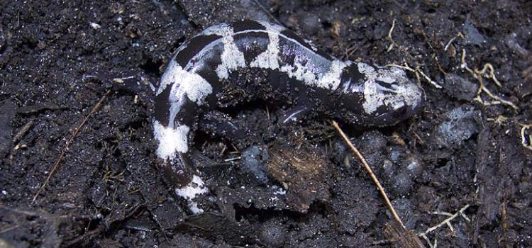 A female black and white striped Marbled Salamander burrows in the mud over her eggs
