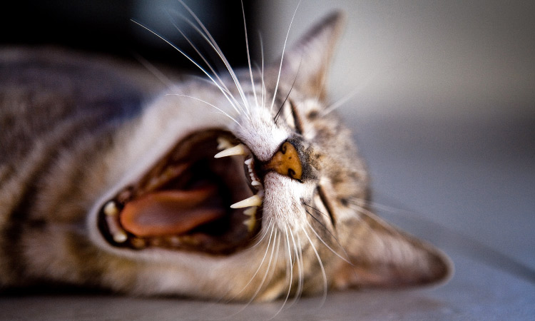 Closeup of the face of a tabby cat lying on the ground yawning, showing its pink tongue and clean teeth